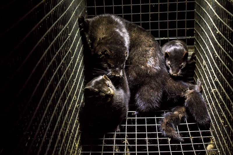 Nearly 600,000 mink killed in fur farm to eradicate coronavirus, Nearly 600,000 mink killed in fur farm to eradicate coronavirus netherlands, mass cull mink netherlands