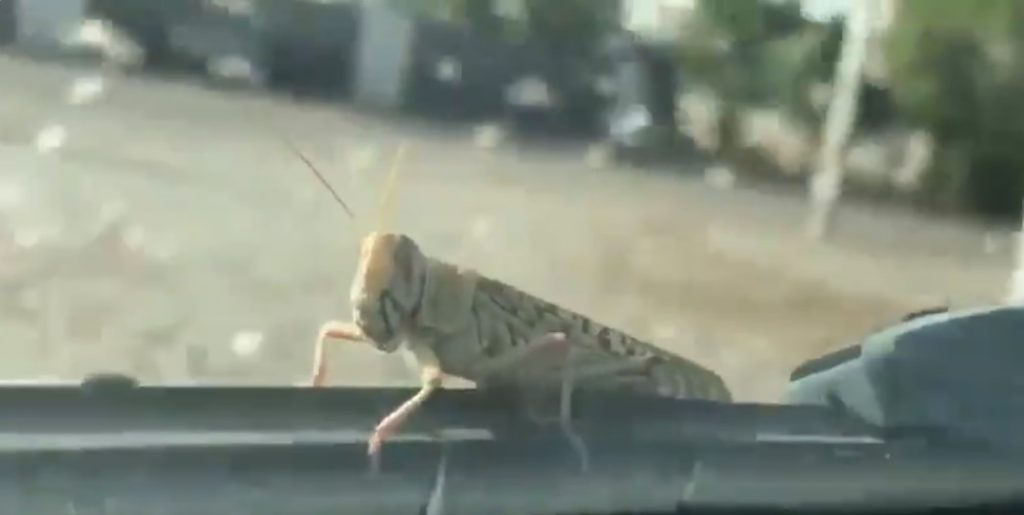 locust invasion devastates south to central Asia
