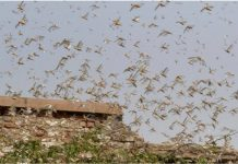 locust plague india africa south america middle east, locust plague india africa south america middle east video, locust plague india africa south america middle east pictures, locust plague india africa south america middle east news