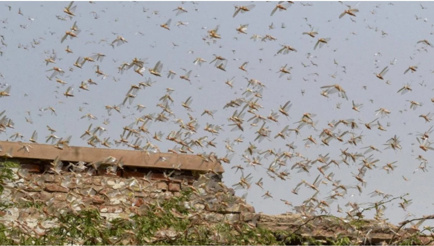 Rolling emergency: 450 billion locusts have been killed ...