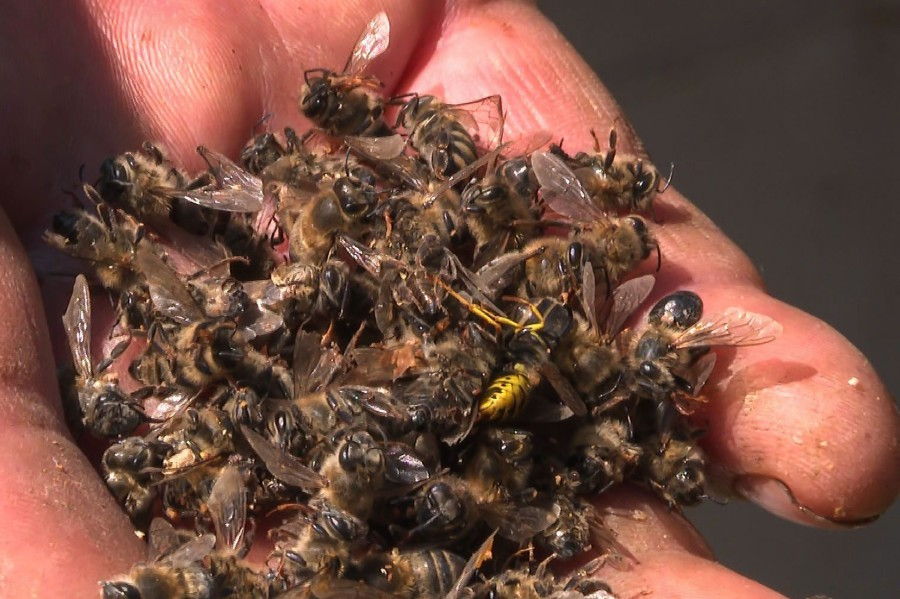 50 million bees die mysteriously in Croatia, mass bee death croatia june 2020, mass bee death croatia june 2020 video, mass bee death croatia june 2020 pictures