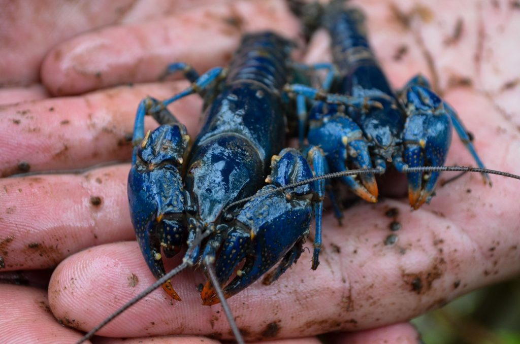 blue crayfish discovery Ohio, blue crayfish discovery Ohio pictures, blue crayfish discovery Ohio video, blue crayfish discovery Ohio june 2020