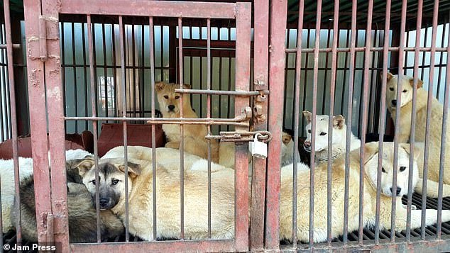 dog soup south korea, days of bok, boknal south korea, korea dog soup festival