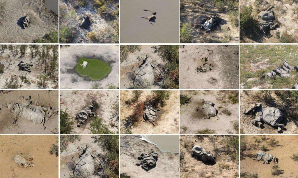 """elephant death, elephant die-off botswana, elephant mass death botswana 2020, More than 350 elephants have died in northern Botswana in a mysterious mass die-off described by scientists as a """"conservation disaster"""""""