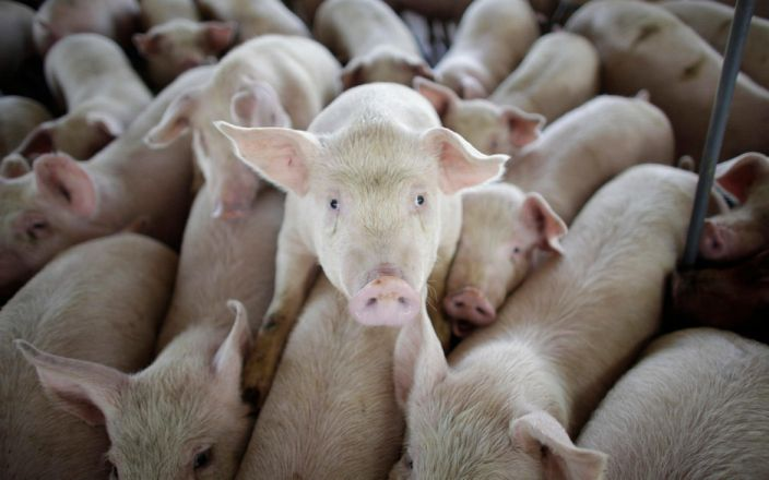 new swine flu virus pandemic, Chinese scientists discover a new swine flu capable of triggering a pandemic