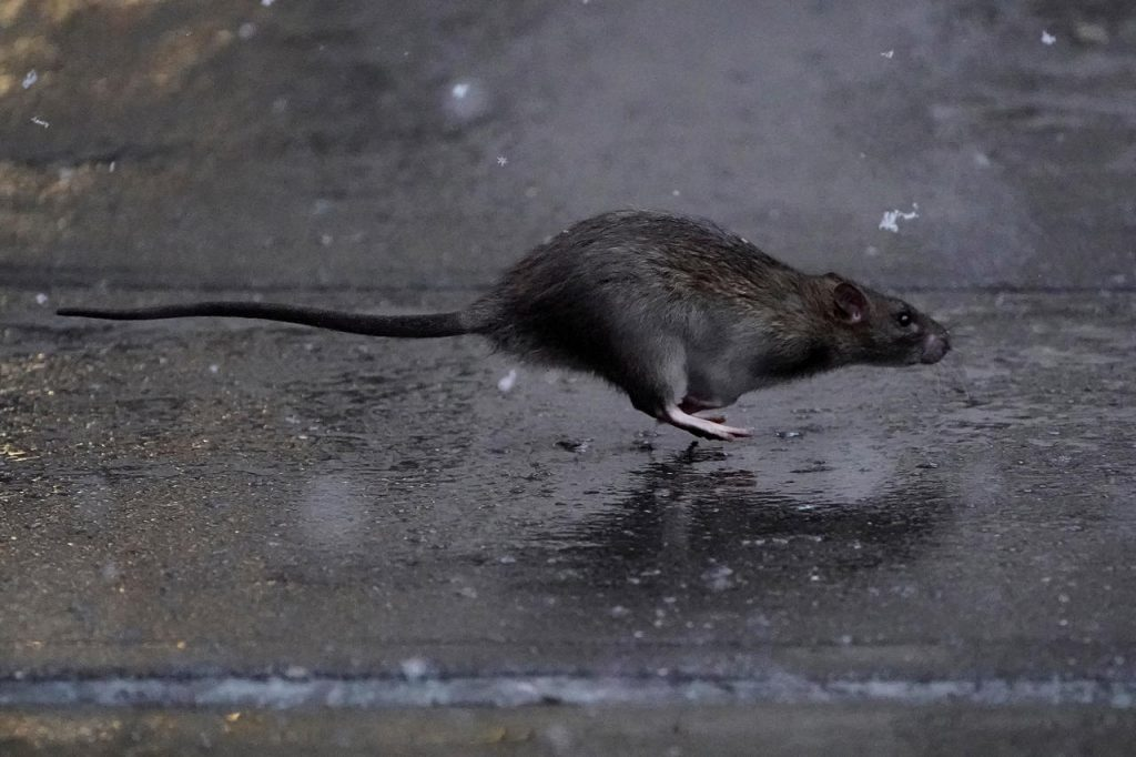 new york rats attack outdoor diners, new york rats attack restaurants, rat plague new york