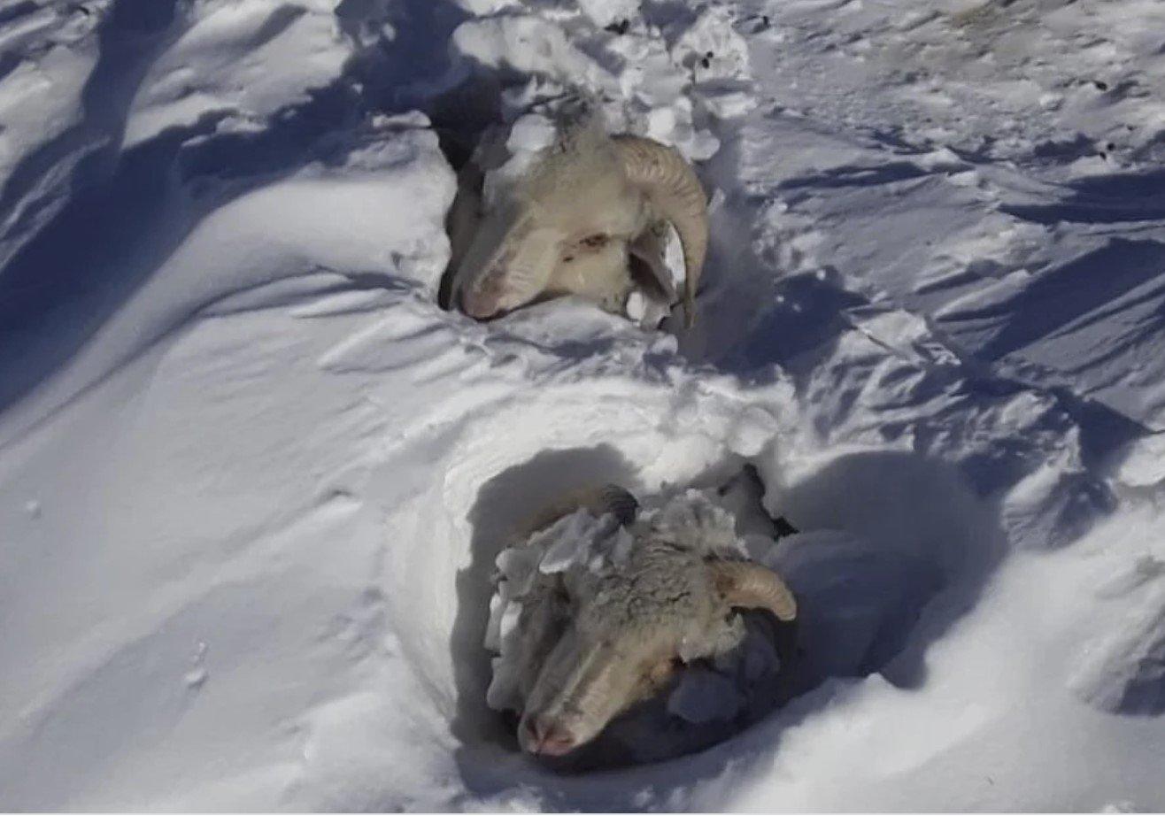 Snow buries livestock alive in Patagonia, Argentina videos - Strange Sounds
