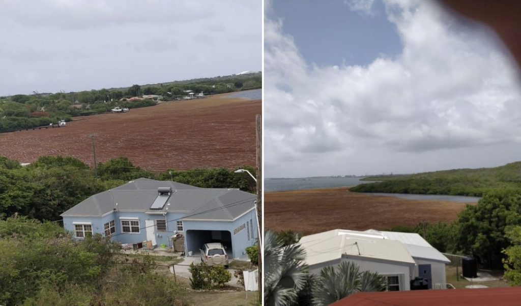sargassum invasion caribbean 2020, sargassum invasion caribbean 2020 video, sargassum invasion caribbean 2020 picture