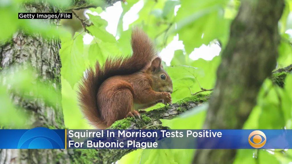 squirrel bubonic plague colorado, squirrel bubonic plague colorado jefferson county, squirrel bubonic plague colorado morrison