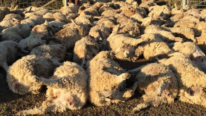 500 sheep killed by lightning in Nepal, 500 sheep killed by lightning in Nepal pictures, 500 sheep killed by lightning in Nepal august 2020