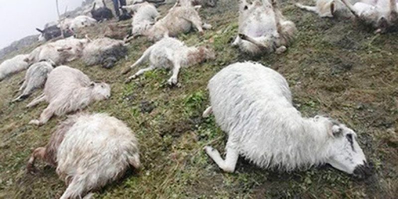 500 sheep killed by lightning in Nepal, 500 sheep killed by lightning in Nepal pictures, 500 sheep killed by lightning in Nepal august 2020