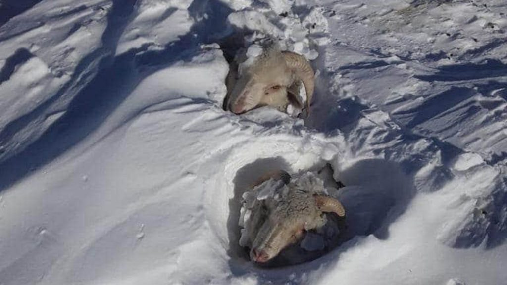 More than 100000 sheep and 5000 cattle dead in Patagonia winter 2020