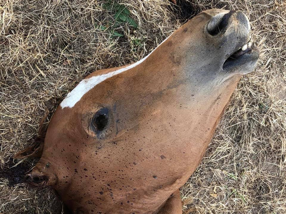 Barbaric horse killing in France, Barbaric horse killing in France picture
