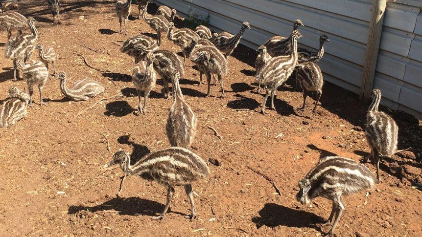 bird flu australia, More than 400,000 birds have been euthanized as bird flu spreads across Australia