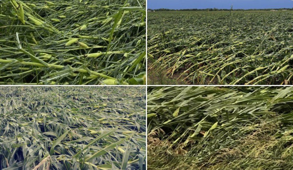 Derecho devastates corn harvest, Derecho devastates corn harvest usa, us farmer hit by derecho august 2020