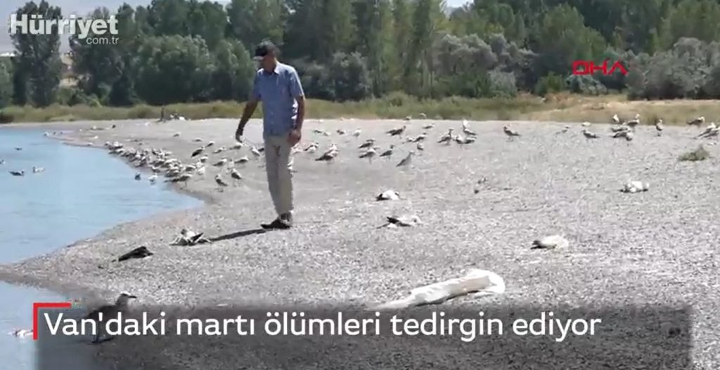 seagull death turkey, Thousands of seagulls are dying on the shore of Lake Van in Turkey, Thousands of seagulls are dying on the shore of Lake Van in Turkey video