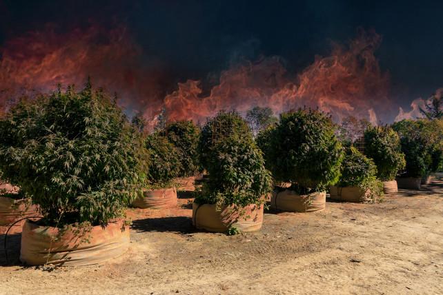 California wildfires threatens pot farms