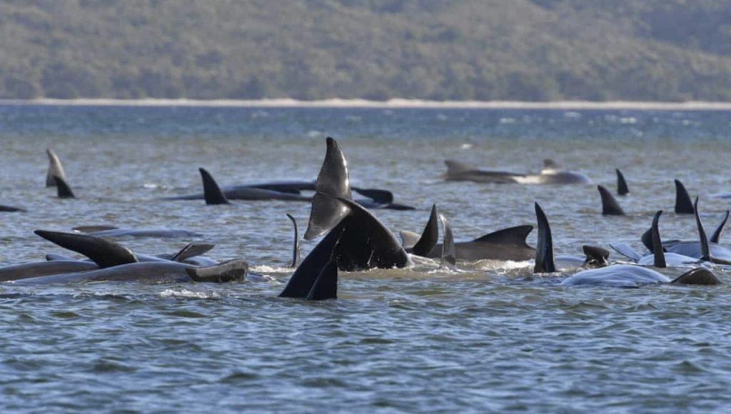 At least 90 pilot whales dead and around 180 stranded in Tasmania's Macquarie Harbour in Australia