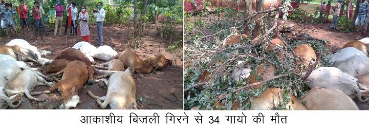 lightning kills cows india sri lanka