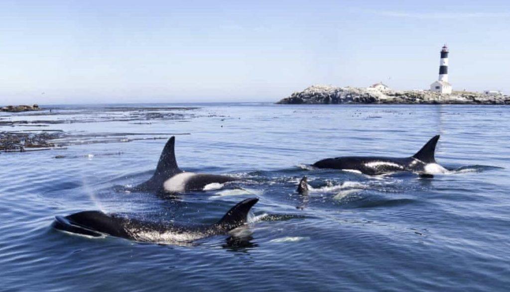 orcas attack boats gibraltar