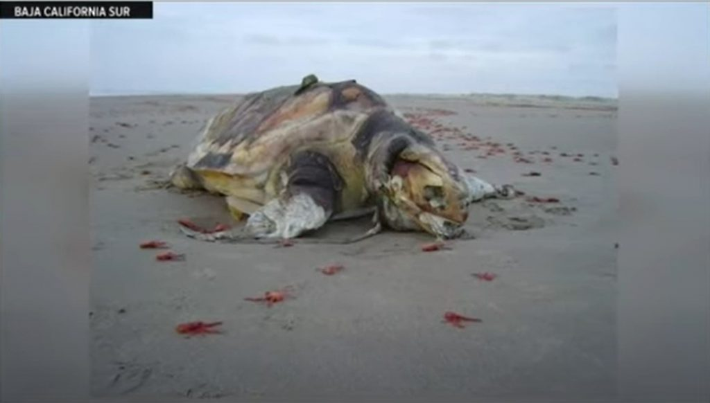 turtle and sea lion deaths mexico