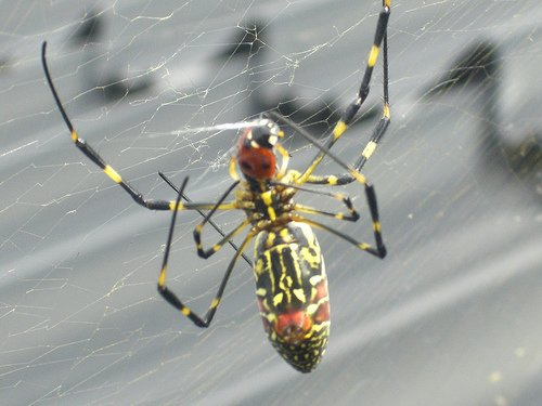 Giant Joro spider invades the US