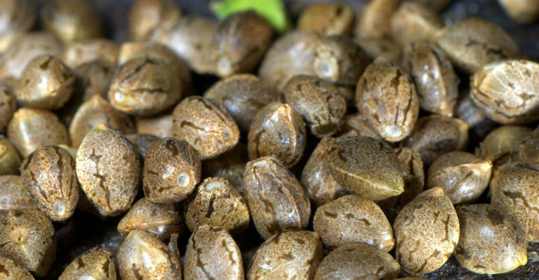 best strains of cannabis seeds for growing, best cannabis strain seeds