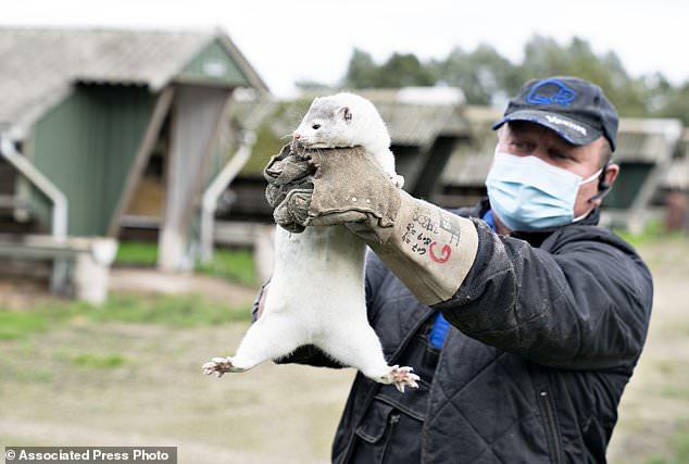 Denmark begins culling 2½ MILLION minks after coronavirus was found on 63 fur farms