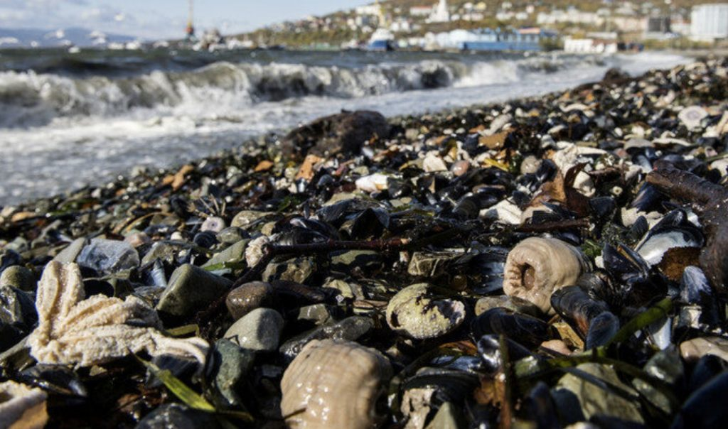 kamchatka sea death, kamchatka second sea mass die-off