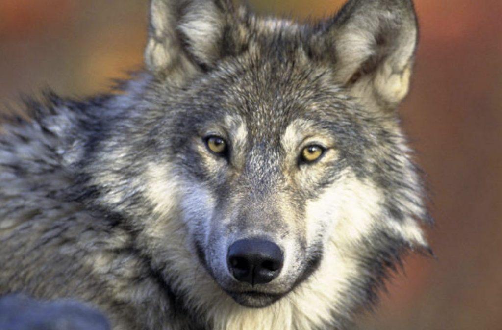 Colorado reintroduces gray wolf