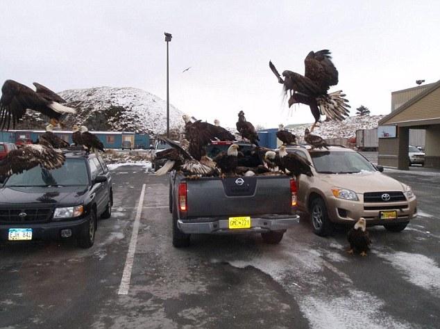 Eagles attack a car full of fish Alaskan Safeway supermarket video, Eagles attack a car full of fish Alaskan Safeway supermarket video picture, bald Eagles attack a car full of fish Alaskan Safeway supermarket video
