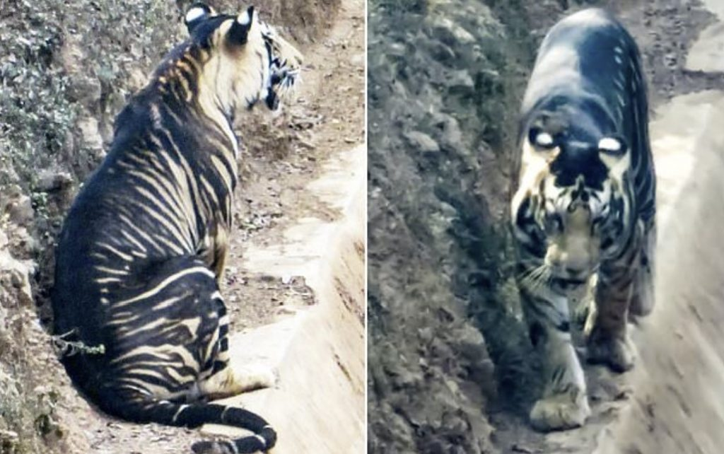 black tiger photographed in India, Extremely rare black tiger photographed in India, black tiger india, melanic tiger india, melanic tiger picture