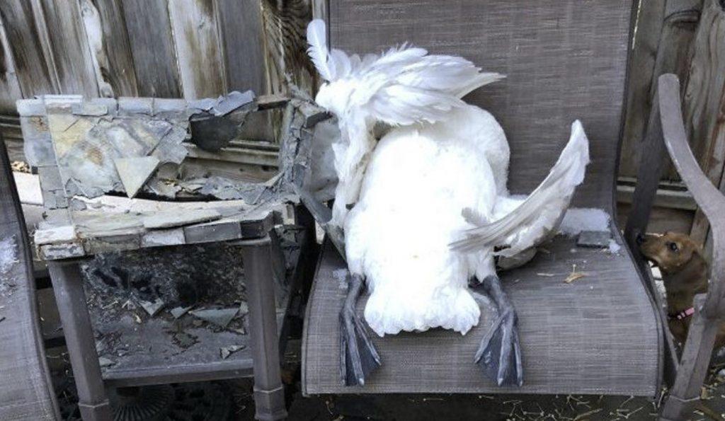 Brutal hailstorm kills swans in Utah in videos, dead swans utah, dead swans utah videos, dead swans utah hail, dead swans utah storm