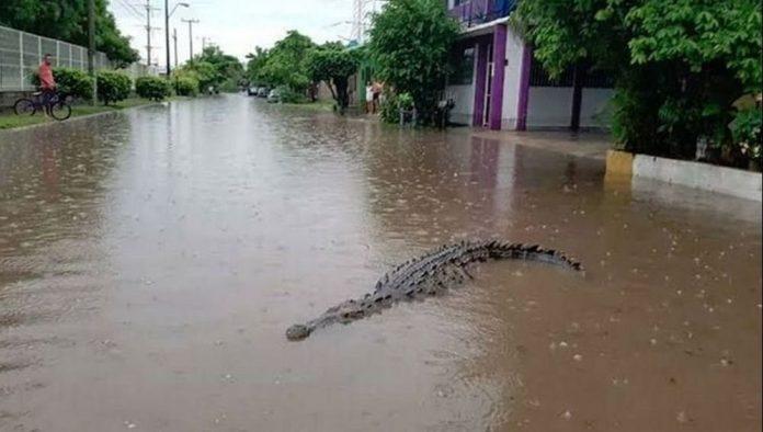 crocodiles invade street of mexico after Storm Eta,huge crocodile in flooded streets of tabasco mexico, huge crocodile in flooded streets of tabasco mexico video, huge crocodile in flooded streets of tabasco mexico pictures, Huge crocodile in flooded streets of Villahermosa, Tabasco Mexico after Storm Eta