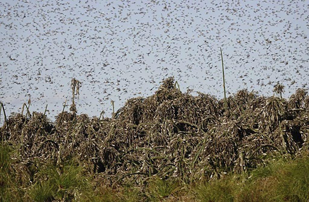 Locust plague invades Southern Africa, Locust plague invades Southern Africa video, Locust plague invades Southern Africa november 2020