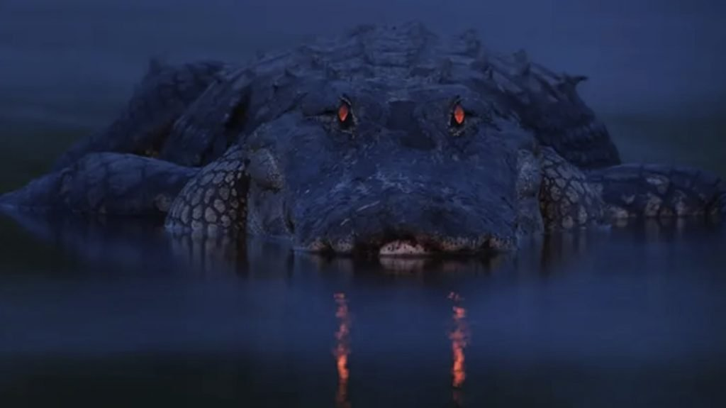 Why do alligator eyes glow red in the dark, alligator eyes glow red at night, alligator eyes red night