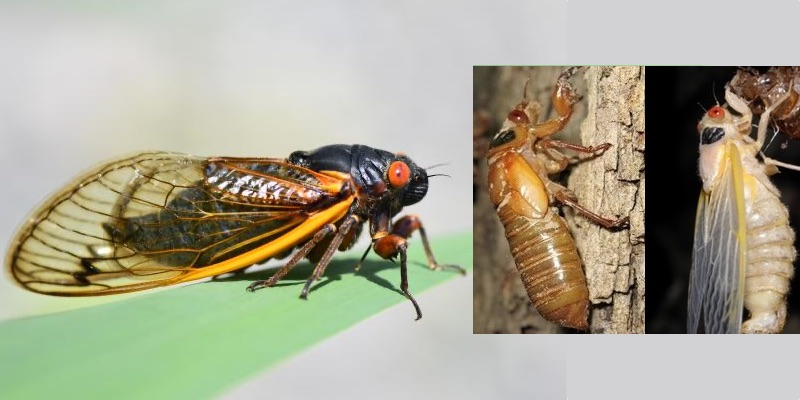 cicada brood x, cicada brood x 2021, cicada brood x may 2021, cicada brood x usa