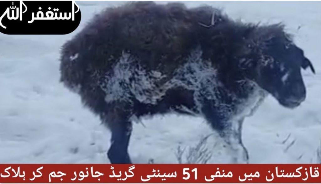 animals in kazakhstan freeze to death, animals in kazakhstan freeze to death video, animals in kazakhstan freeze to death pictures