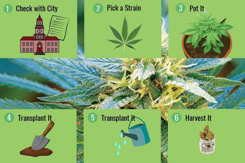 how to grow cannabis, grow cannabis step by step,Learn how to grow cannabis step by step