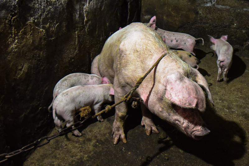 new swine fever china vaccine, new swine fever china vaccine january 2021