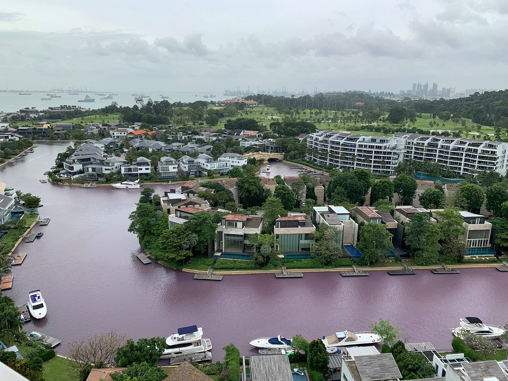 singapore water turns pink, singapore water turns pink video, singapore water turns pink january 2021, Waters in a canal at Sentosa Cove, Singapore turned bright pink emitting a foul sewage-like smell