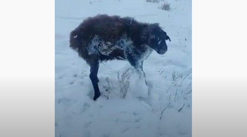 sheep frozen to death kazakhstan, animals in kazakhstan freeze to death, animals in kazakhstan freeze to death video, animals in kazakhstan freeze to death pictures