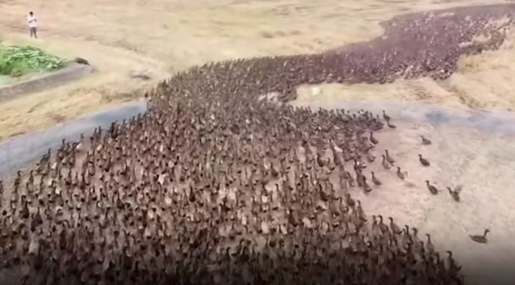 """Farmers in Thailand use armies of 10,000 """"field chasing ducks"""" to eat their way through rice paddies after a harvest, Farmers in Thailand use armies of 10,000 """"field chasing ducks"""" to eat their way through rice paddies after a harvest video, Farmers in Thailand use armies of 10,000 """"field chasing ducks"""" to eat their way through rice paddies after a harvest picture"""