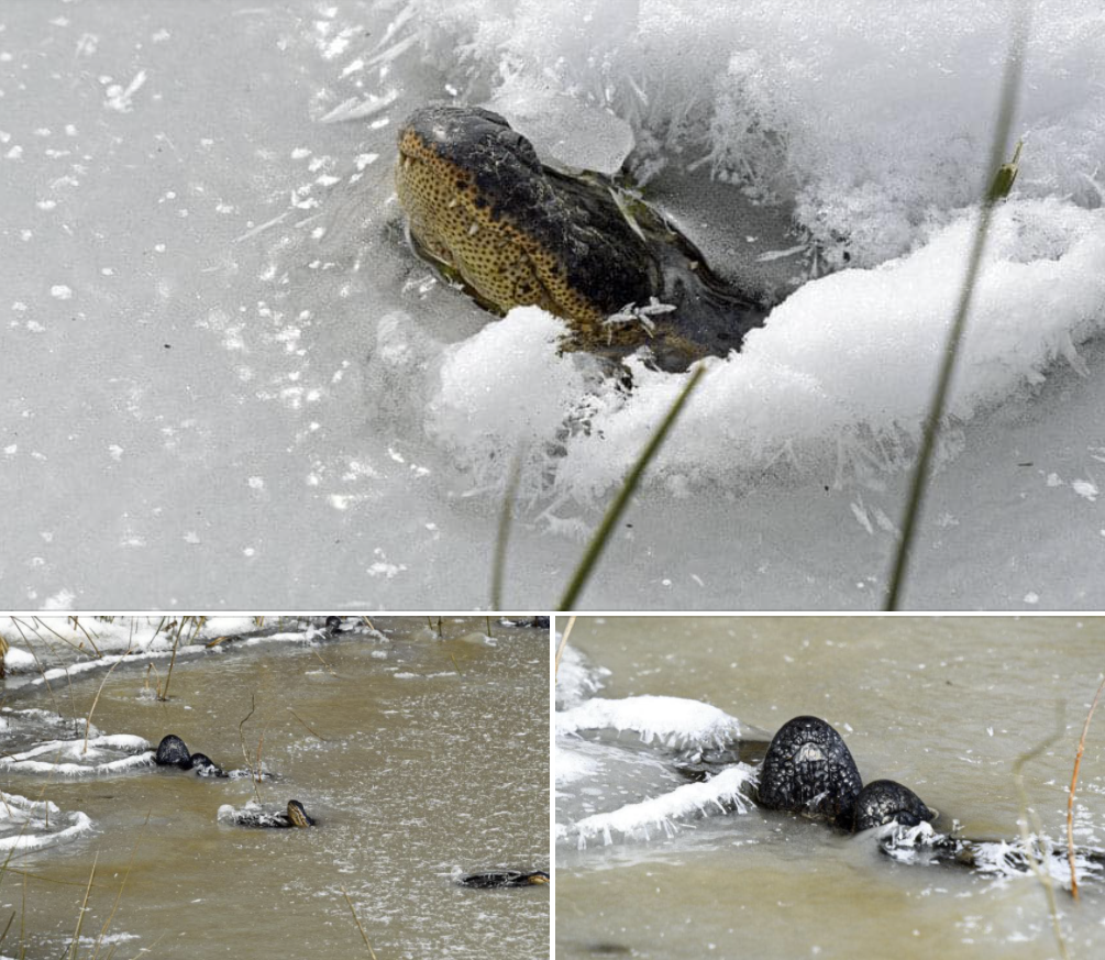 Frozen alligators stick noses through ice to survive in Oklahoma, Frozen alligators stick noses through ice to survive in Oklahoma video, Frozen alligators stick noses through ice to survive in Oklahoma pictures, Frozen alligators stick noses through ice to survive in Oklahoma february 2021