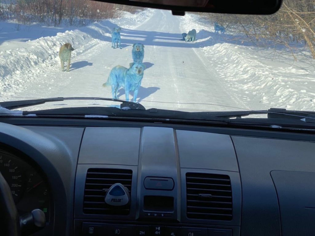 blue dogs in Russia, pictures blue dogs in Russia, Strange blue dogs in Russia
