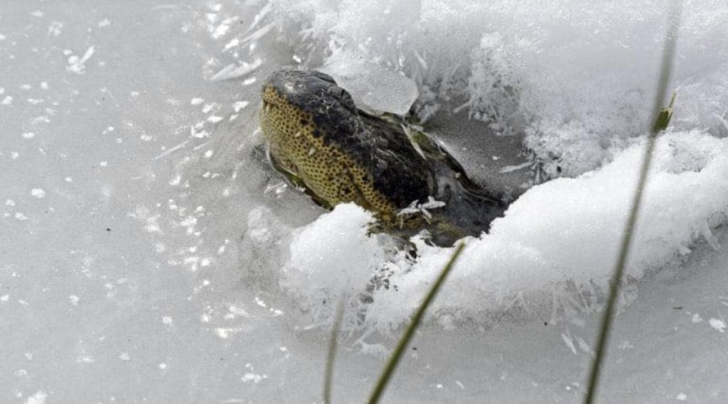 Meanwhile, these alligators survived the cold snap in SE Oklahoma by freezing themselves in place with their noses above the ice to breathe.