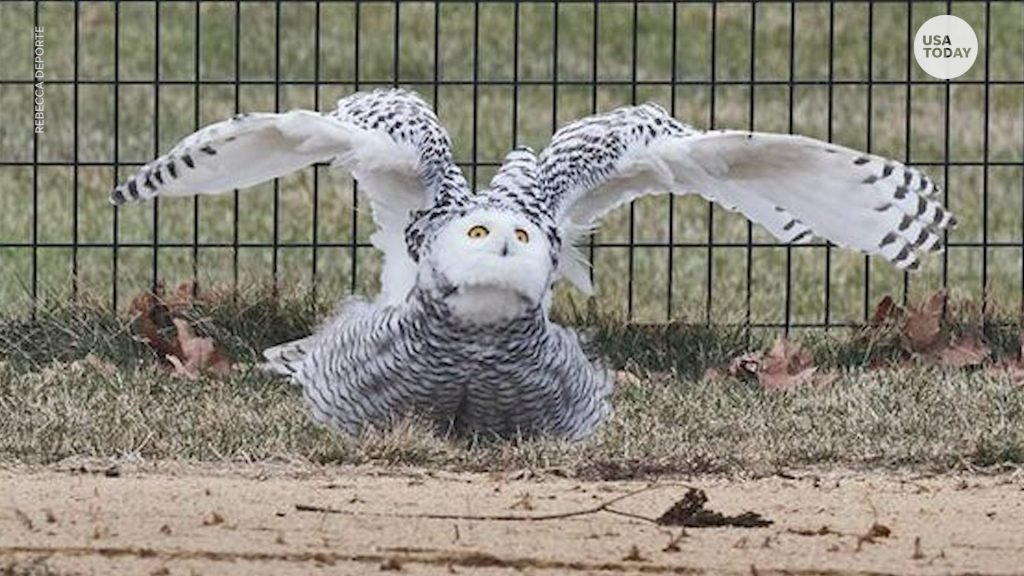 snowy owl central park, snowy owl central park new york, snowy owl central park new york february 2021, snowy owl central park video, snowy owl central park picture