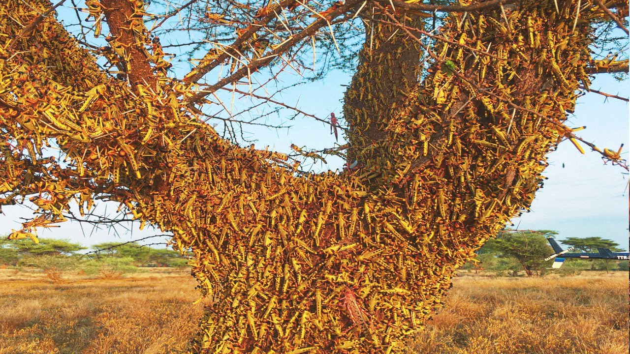Biblical locust plague in Somalia prompts officials to ...