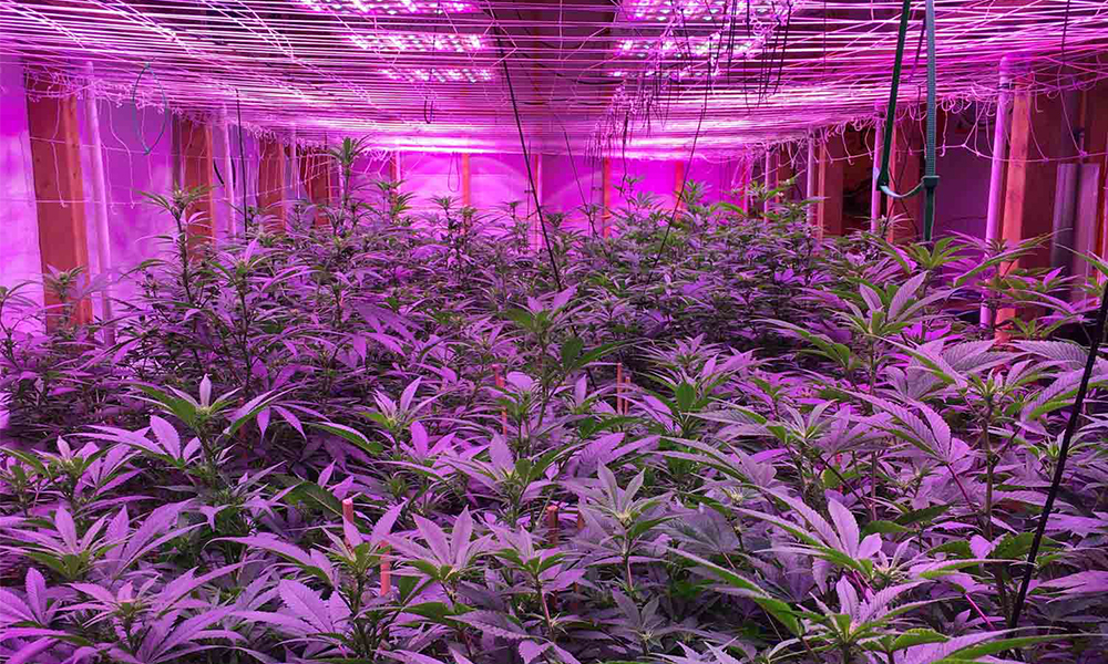 Common mistakes to avoid when growing cannabis plants, avoid mistakes when growing cannabis