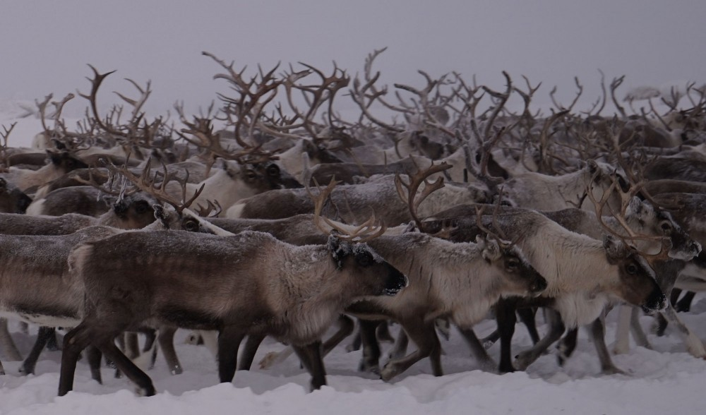 reindeer starvation russia